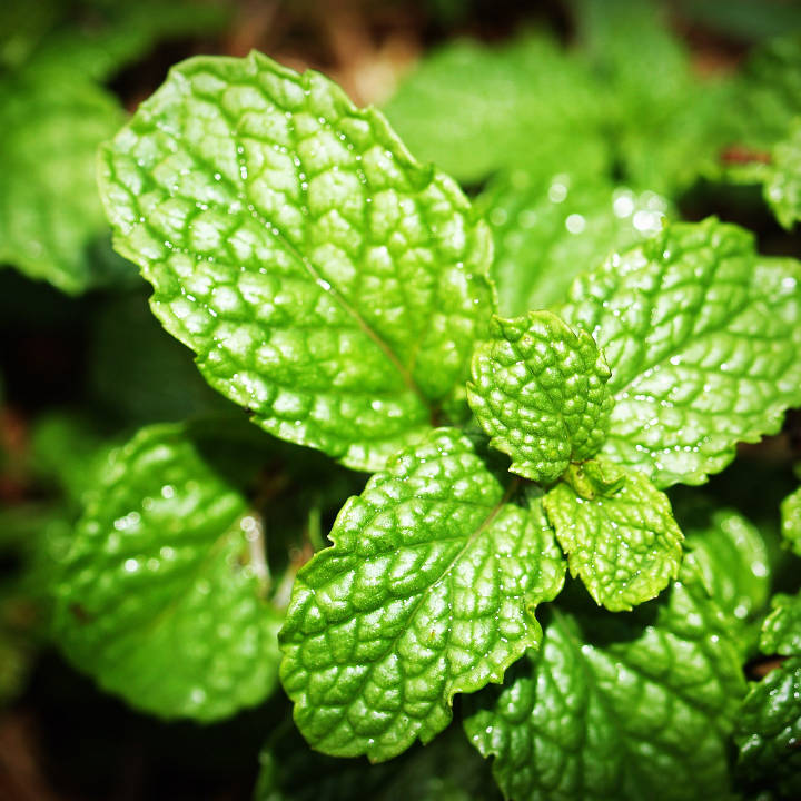 Jilly's Fine Leaf Tea Blends include mint